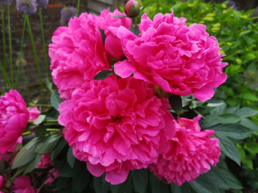 Riverhill Himalayan Gardens, Sevenoaks, Kent, days out review, peony