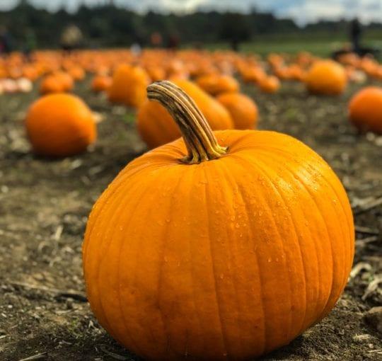 pumpkin patch, pick your own pumpkin, pyo pumpkin