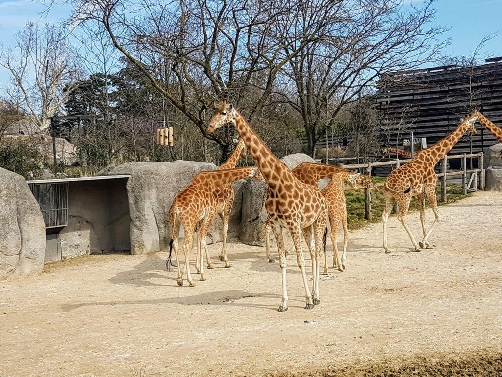Giraffe herd at Paris zoo