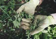 hands wearing gardening gloves holding weeds