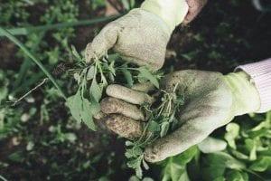 hands wearing gardening gloves holding weeds