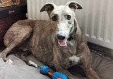 Vder the greyhound smiling, lying on his bed